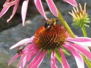 bee-&-jap-beetle